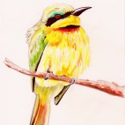 Bee Eater in Africa